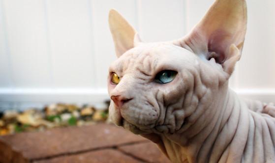 Sphynx Donskoy Cats Kittens, NADA Sphynx, Devon Rex, Lykoi