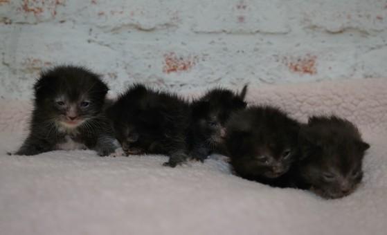 Sphynx Kittens for Sale Spring Hill, Florida, Devon Rex